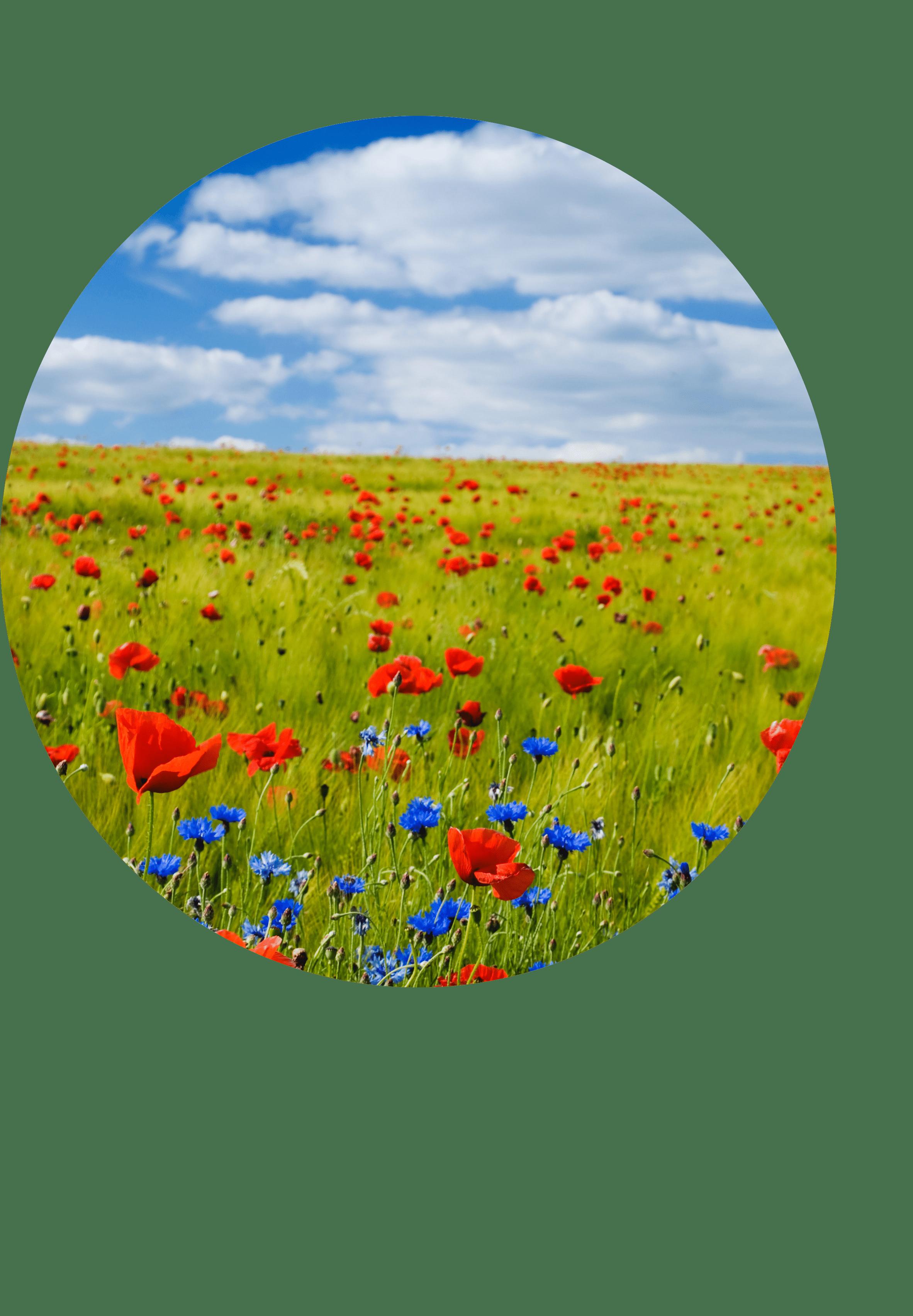 champ coquelicot et fleurs bleues